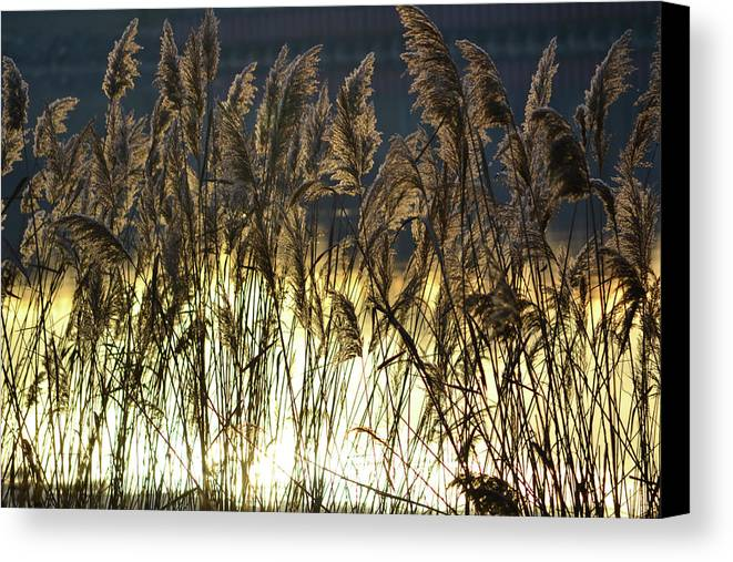 Chesapeake Bay Canvas Print featuring the photograph Sea Grass by Philip LeVee