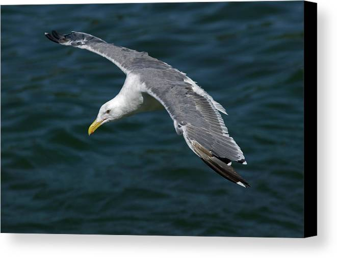 Animal Canvas Print featuring the photograph Seagull In Flight by Randall Ingalls