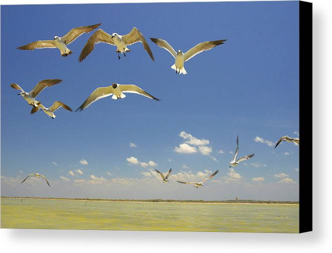 Seagull Canvas Print featuring the photograph Seagulls by Elisa Locci