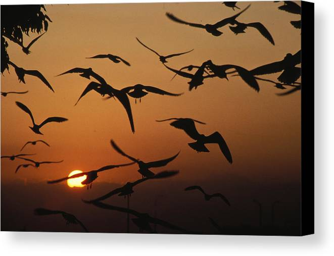 Birds Canvas Print featuring the photograph Seagulls In Sunset by Carl Purcell
