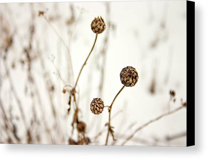 Seed Head Canvas Print featuring the photograph Seed Heads In The Snow by Vicki Field