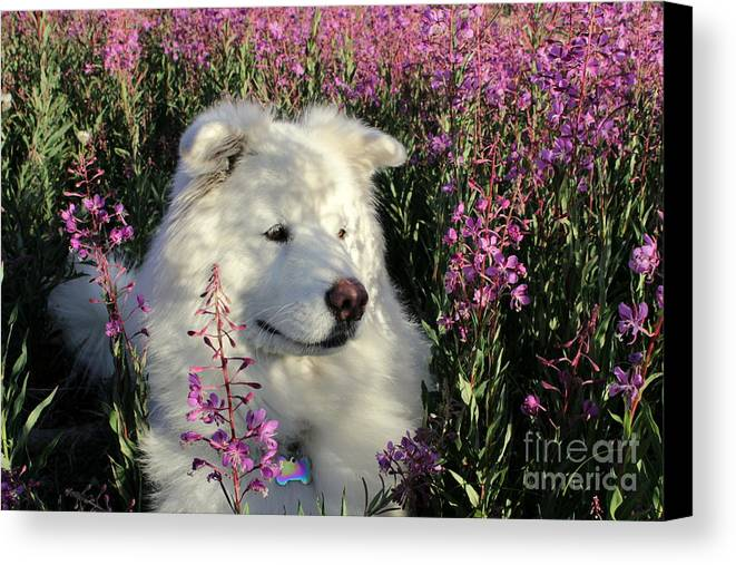 Samoyed Canvas Print featuring the photograph Shadows by Fiona Kennard