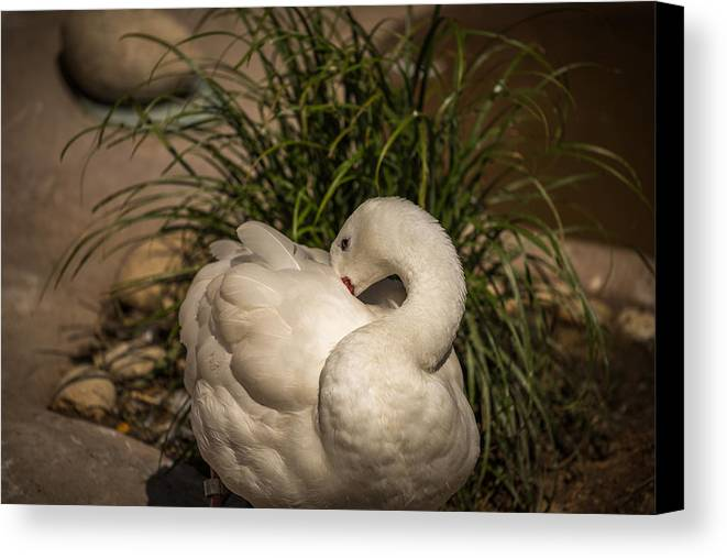 Swan Canvas Print featuring the photograph Shy by Calazone's Flics