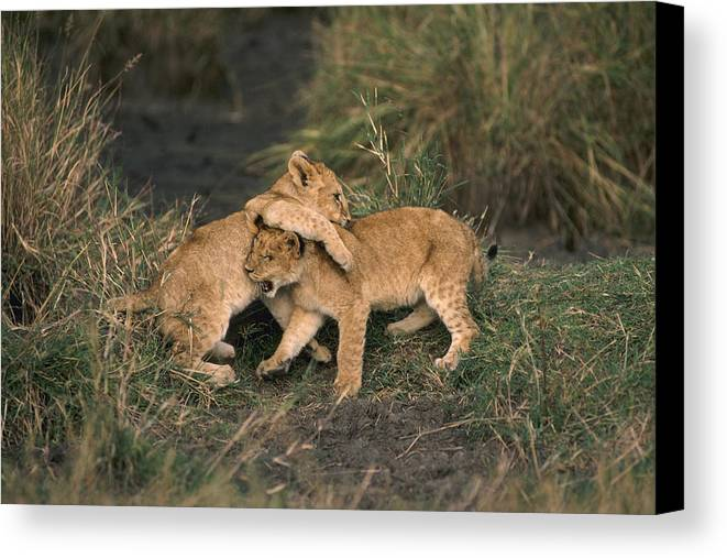 Lions Canvas Print featuring the photograph Sibling Rivalry by Carl Purcell