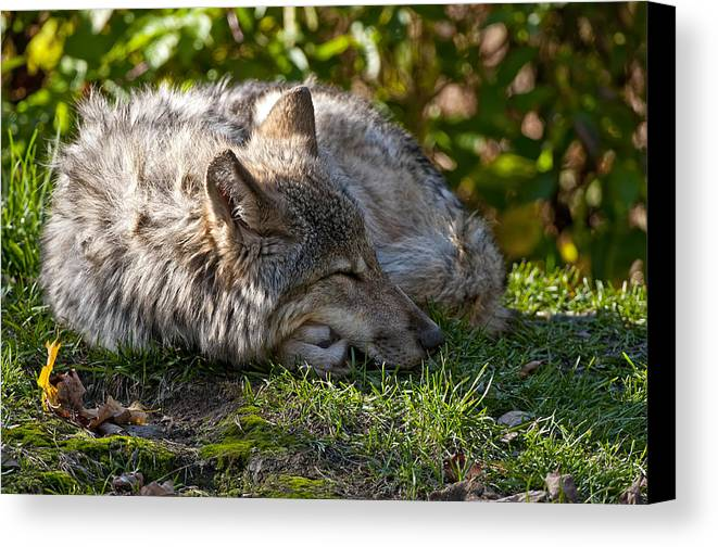 Michael Cummings Canvas Print featuring the photograph Sleeping Timber Wolf by Michael Cummings