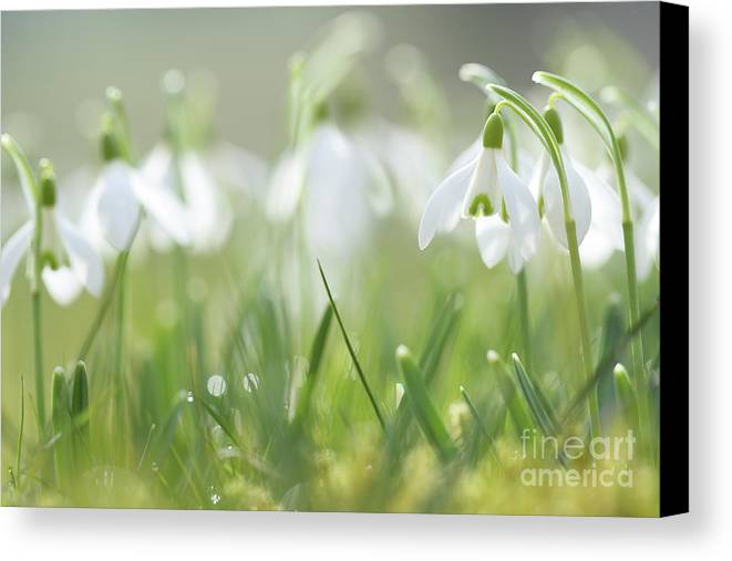 Snowdrop Canvas Print featuring the photograph Snowdrop by Jana Behr