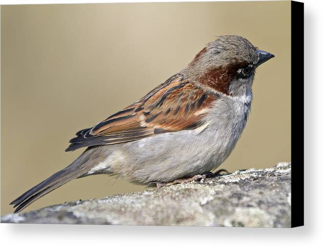 Outdoors Canvas Print featuring the photograph Sparrow by Melanie Viola