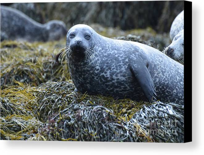 Seal Canvas Print featuring the photograph Spotted Coat Of A Harbor Seal by DejaVu Designs