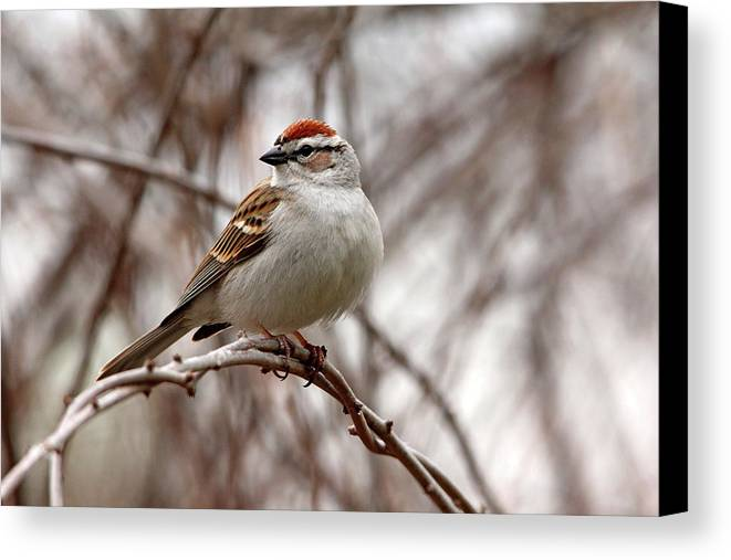 Chipping Sparrow Canvas Print featuring the photograph Spring Chipping Sparrow by Debbie Oppermann