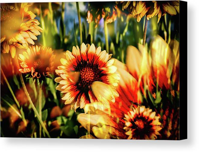 Gaillardia Canvas Print featuring the photograph Spring Fling by Kristen Wilcox