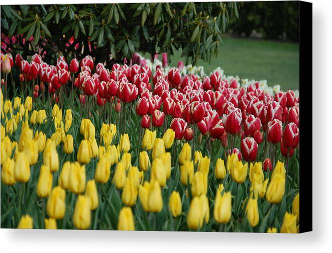 Tulips Canvas Print featuring the photograph Springtime In Washington by HP Hwang