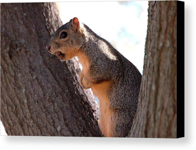 Squirrel Canvas Print featuring the photograph Squirrel With A Nut by Teresa Blanton