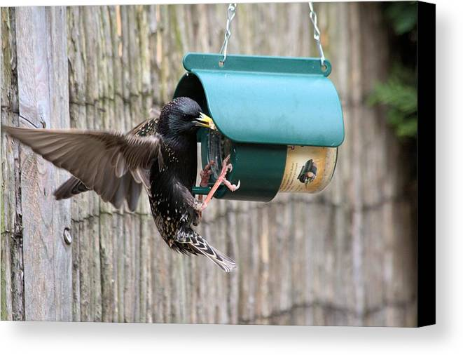Starling On Bird Feeder Canvas Print featuring the photograph Starling On Bird Feeder by Gordon Auld