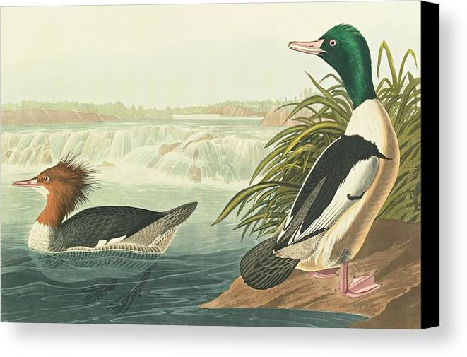 John James Audubon (after) Goosander...cohoes Falls Canvas Print featuring the painting State Of New by John James