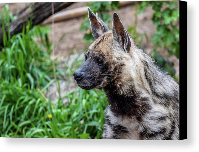 Hyena Canvas Print featuring the photograph Striped Hyena by Michael Putthoff