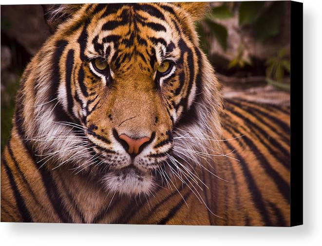 Tiger Canvas Print featuring the photograph Sumatran Tiger by Chad Davis