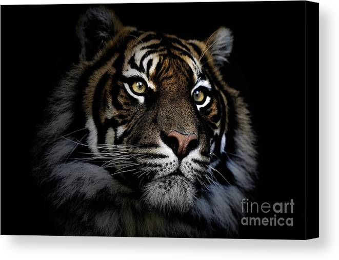 Sumatran Tiger Wildlife Endangered Canvas Print featuring the photograph Sumatran Tiger by Sheila Smart Fine Art Photography