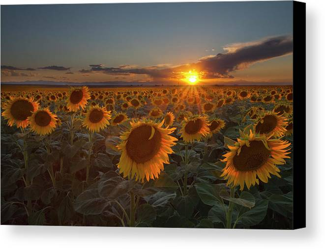 Horizontal Canvas Print featuring the photograph Sunflower Field - Colorado by Lightvision, LLC