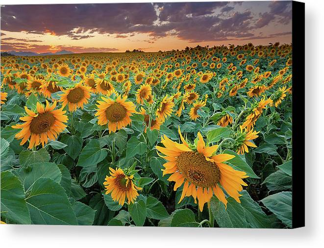 Horizontal Canvas Print featuring the photograph Sunflower Field In Longmont, Colorado by Lightvision