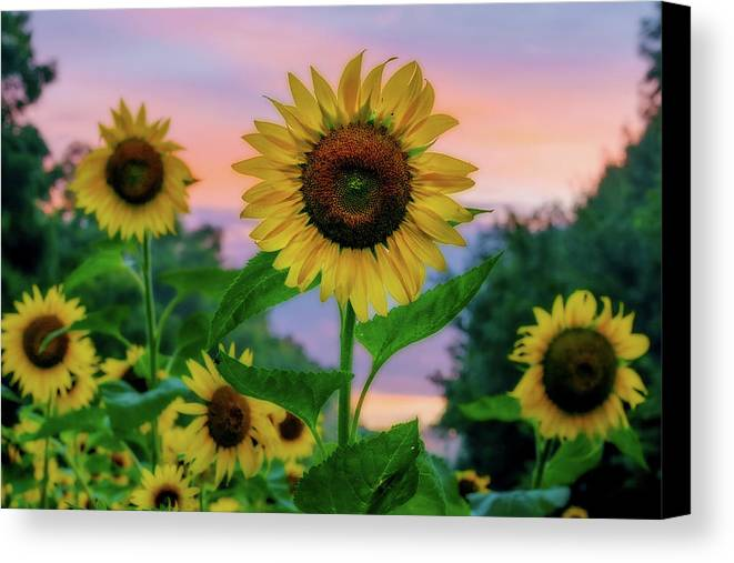 Maryland Canvas Print featuring the photograph Sunflowers At Sunset by Dave Lyons