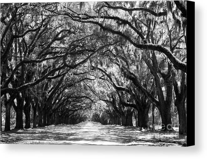 Live Oaks Canvas Print featuring the photograph Sunny Southern Day - Black And White by Carol Groenen