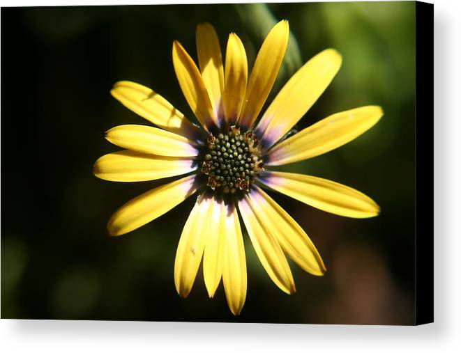 Sunshine Canvas Print featuring the photograph Sunshine by Amy Holmes