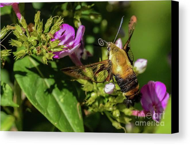 Hummingbird Moth Canvas Print featuring the photograph Surveyor by Tammy Hyatt