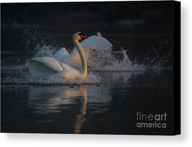 Swan Canvas Print featuring the photograph Swan by Jana Behr