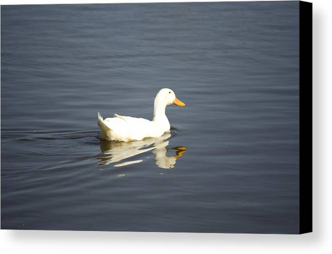 Duck Canvas Print featuring the photograph Swimming Away by Magda Levin-Gutierrez
