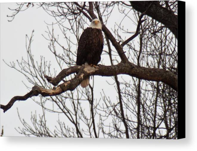 Eagle Canvas Print featuring the photograph Symbol Of Freedom by Lew Wescott