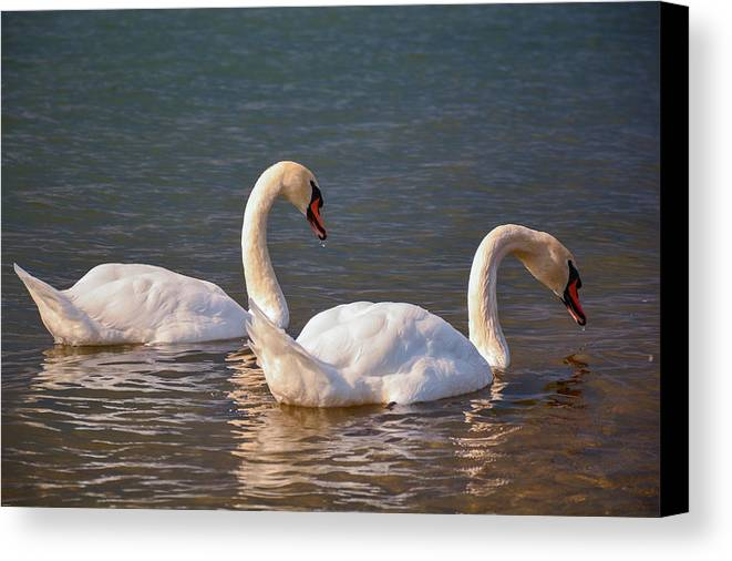 Swans Canvas Print featuring the photograph Tandem by Valeriu Bucos