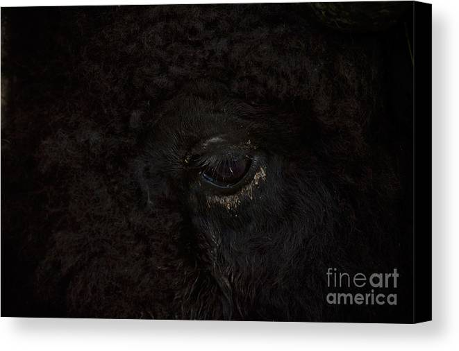 Eye Canvas Print featuring the photograph Tatonka by Chip Laughton