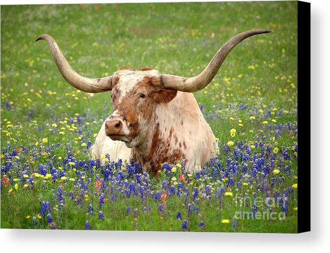 Texas Longhorn In Bluebonnets Canvas Print featuring the photograph Texas Longhorn In Bluebonnets by Jon Holiday