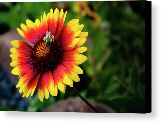 Gaillardia Canvas Print featuring the photograph The Collector by Kristen Wilcox