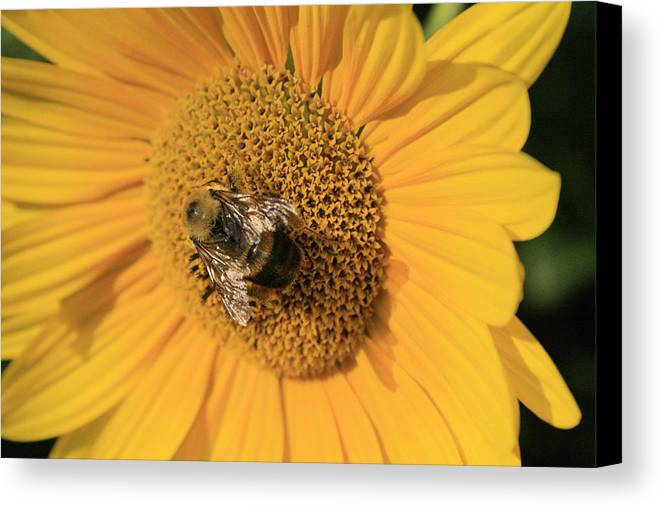 Sunflower Canvas Print featuring the photograph The Courier by Alan Rutherford