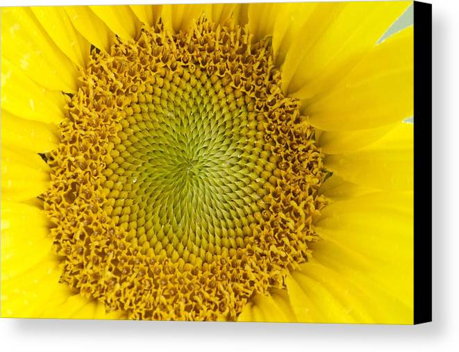 Flower Canvas Print featuring the photograph The Heart Of The Sunflower by Tiffany Erdman