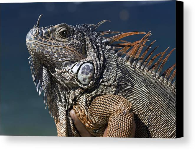 Animal Canvas Print featuring the photograph The Night Of The Iguana by Carl Purcell