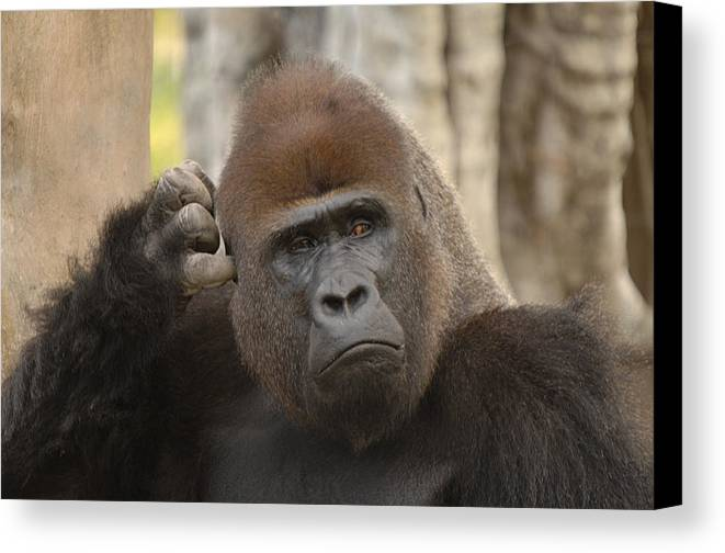 Gorilla Canvas Print featuring the photograph Think About It by Keith Lovejoy