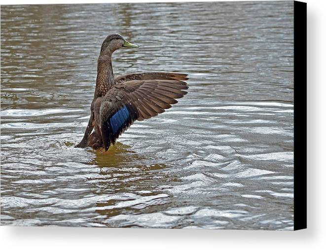 American Black Duck Canvas Print featuring the photograph This Way by Asbed Iskedjian