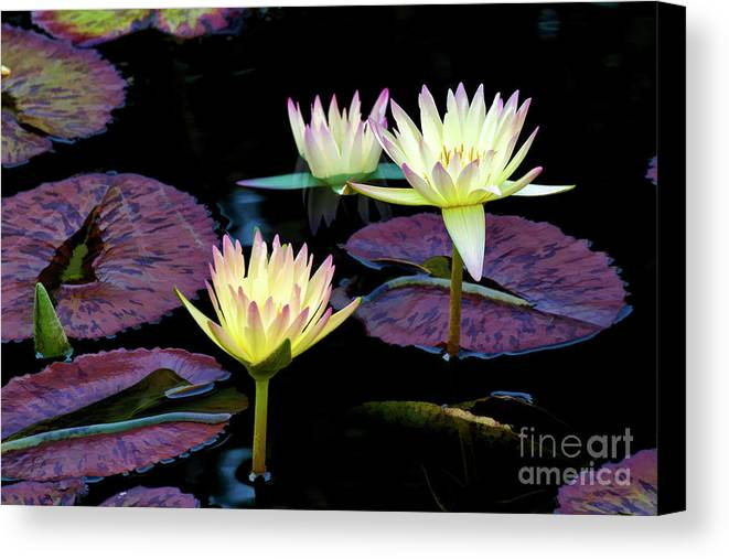 Lily Canvas Print featuring the photograph Three A-glow by Larry Dove