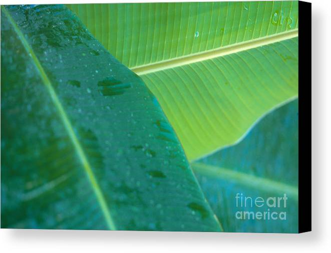 Agriculture Canvas Print featuring the photograph Three Banana Leaves by Dana Edmunds - Printscapes
