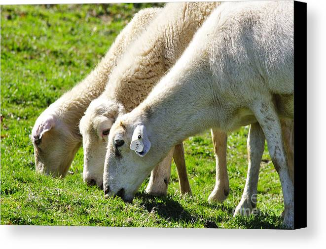 Sheep Canvas Print featuring the photograph Three Ewes by Thomas R Fletcher