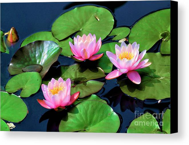 Lily Canvas Print featuring the photograph Three Sisters by Larry Dove