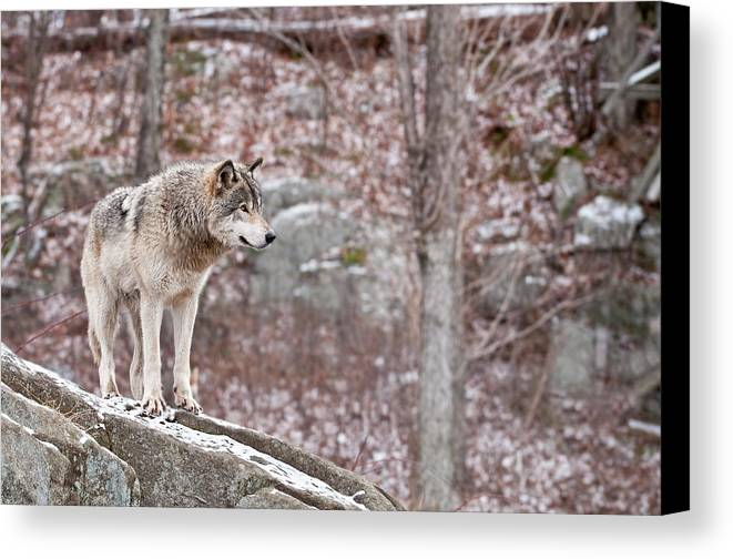 Michael Cummings Canvas Print featuring the photograph Timber Wolf On Rocks by Michael Cummings
