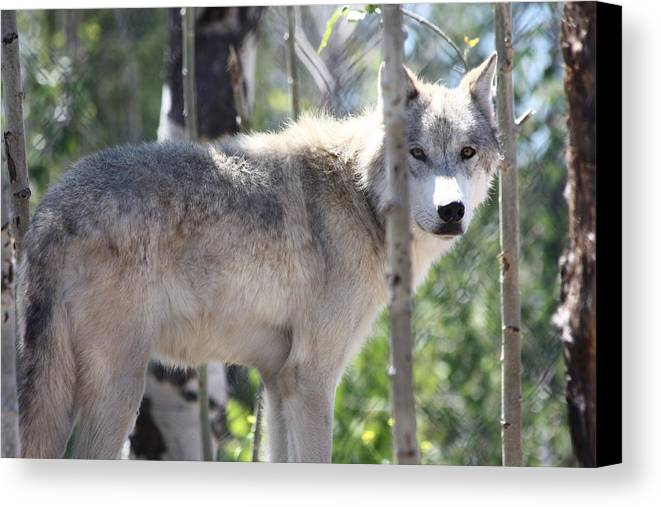 Timber Wolf Canvas Print featuring the photograph Timber Wolf by Shane Bechler