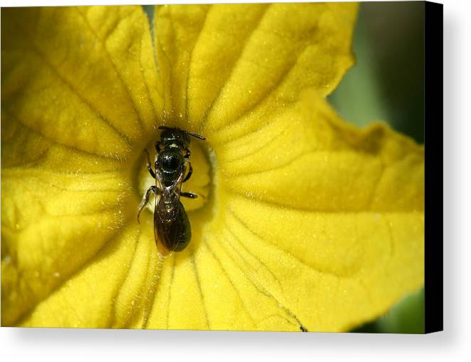 Insect Canvas Print featuring the photograph Tiny Insect Working In A Cucumber Flower by Bonnie Boden
