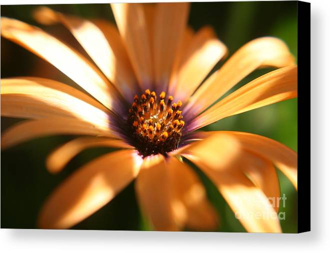 Sun Canvas Print featuring the photograph Touched By The Sun by Amy Holmes