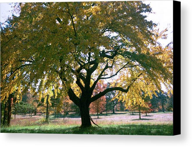 Tree Canvas Print featuring the photograph Tree by Flavia Westerwelle