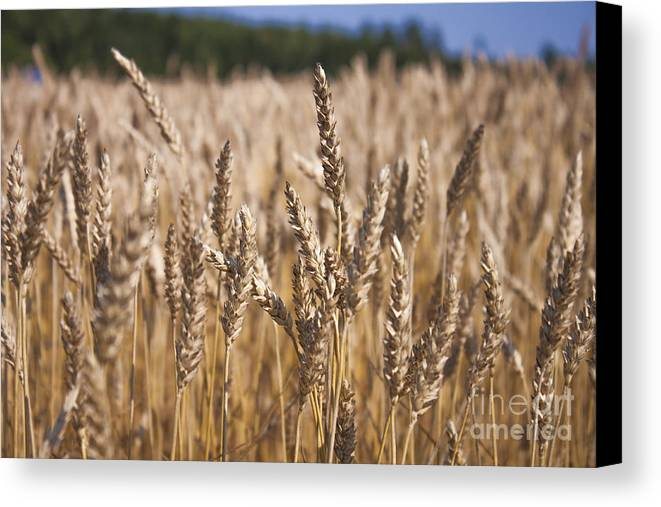 Wheat Canvas Print featuring the photograph Triticum Field by D R