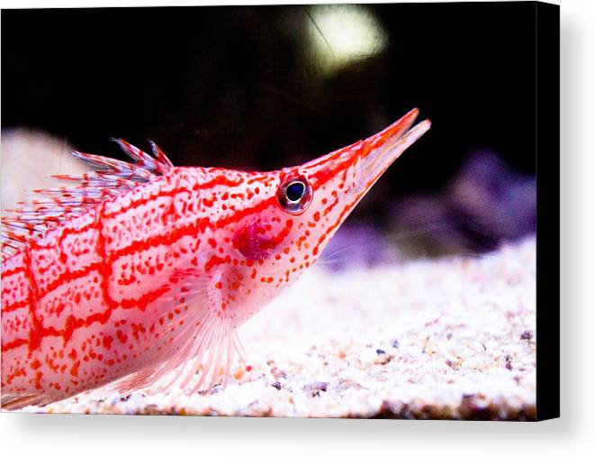 Fish Canvas Print featuring the photograph Tropical Fish by Brenton Woodruff